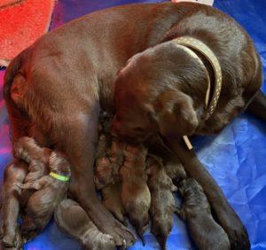Cachorros de labrador retriever color chocolate de sevilla